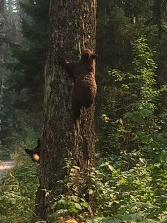 How black bears easily scale trees.