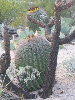 Various cacti on property.