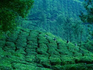 Reach the highest tea plantation in the world by jeep