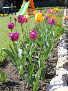 tulipes du printemps