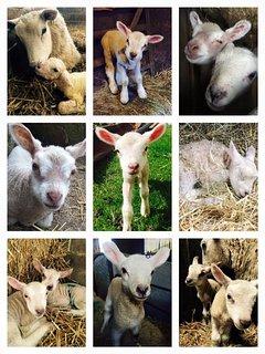 Lambing time at Gateham Grange