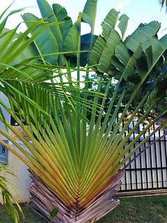 A fan palm, often observed in the jungle to know  your direction, they  grow North to South.