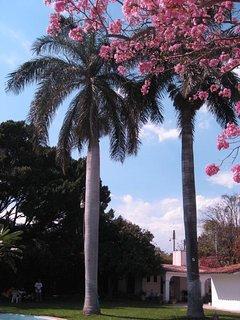 Palmeras y árbol de flores dentro de la propiedad, visto desde la alberca hacia el alojamiento.