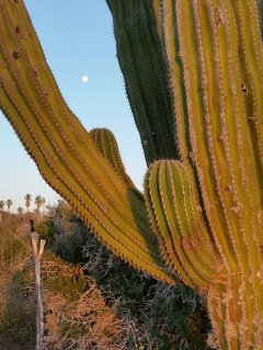 Moon rising over the cactus forest across our road.