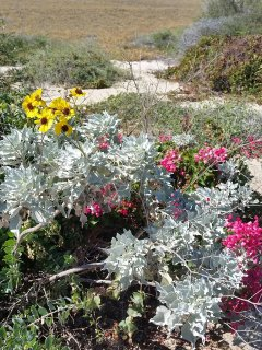 Native plants bursting in blooms, a garden conserving water.