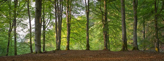 Crunch through beech leaves & walk through cathedral's of tall trees in Reelig Glen