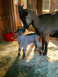 Buckling, a few days old, and mom