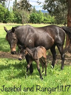 Our Australian Stockhorse mare Jezza with newborn foal Ranger. Range loves a good scratch!