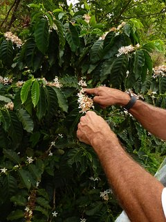 Upcountry farming crops include coffee beans.
