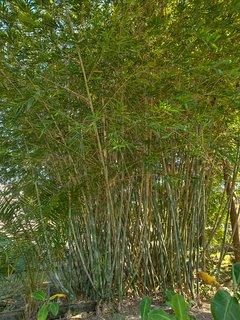 Bamboo in the garden