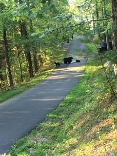 Mama bear and cubs down the road