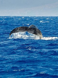 Whale watching from our home. You can see them from our lanai!