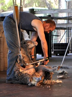 Farm show - sheep shearing