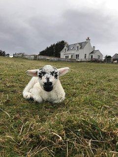 A wee lamb from our own croft. No. 100!