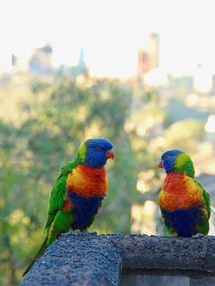 Rainbow lorikeets/parrots, frequent visitors