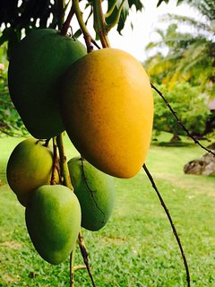 Nearby mango tree