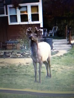 Bull elk in front yard in May before his antler's grew out.