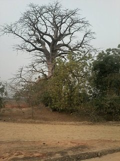 Sitaba Lodge that tree there is call sitaba