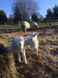Visit our pet sheep: Larry, Sally and Mary