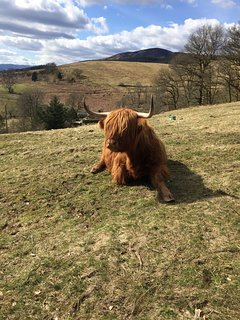 The Nether Glenny Herd of Highland Cows