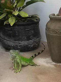 Occasional iguana  visiting the gardens