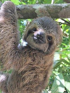 Baby Sloth in Herradura