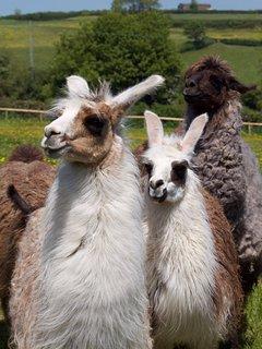 Welcoming llamas!