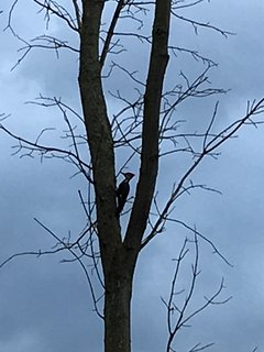 A Pileated Woodpecker in the front yard.