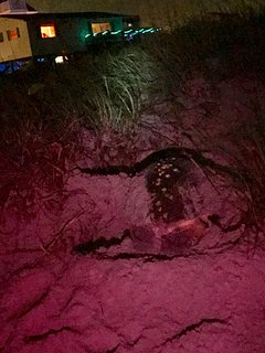 300 pound Loggerhead turtle laying her eggs at our beach access. They come in May, June and July.