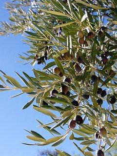 olijfgroei in de zomer, rijpen voor de oogst van het eind van het jaar