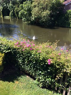 View from Pixie Place Neighbourhood swan has spotted guests in the garden...he's looking for treats!