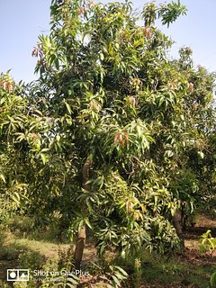 Organic Mango Plantation.