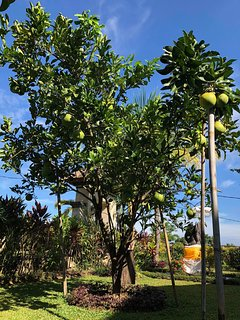 Pomelo tree in the garden