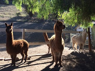 Country Studio with Alpaca's