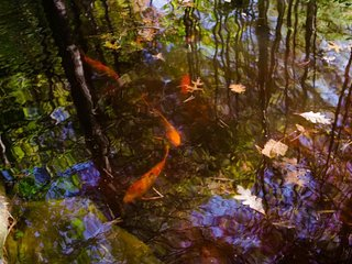 Koi fish pond on property