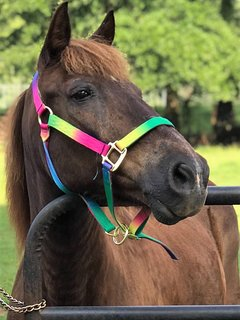 This is our 'Harley' he is an Icelandic pony and loves our Tiny House guests