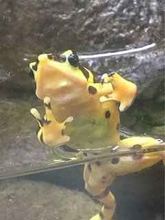 Endangered yellow frog