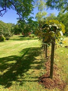 Beginnings of our vineyard