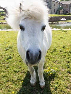 Meet Breeze one of our resident Shetland Pony's