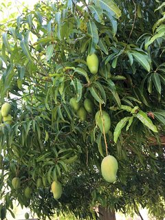 One of many fruit trees on the property. Mango, banana, plantain, avocado, soursop, sweetsop, etc