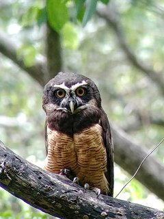 Spectacled Owl, This and more birds. It's possible to see through our tours