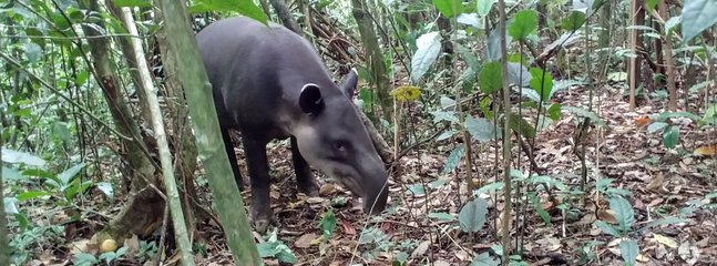 Tapir is the largest terrestrial mammal that inhabits in Costa Rica. We know a place to see it