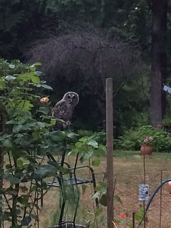 How cute is this? Junior Barred Owls come to learn to hunt every night in July, two years in a row!