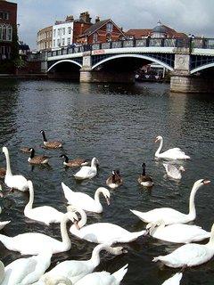 Have fun feeding the swans near the Windsor/Eton bridge!