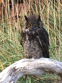 Look who came to visit, this Great Horned Owl is sitting in front of Pioneer Cabin!
