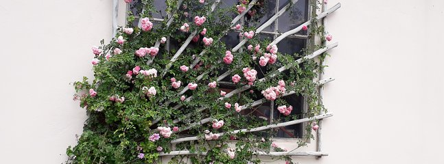 Roses at Paved Courtyard
