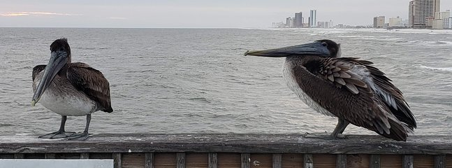 Pelican friends hanging out at the Gulf Shores State Park pier