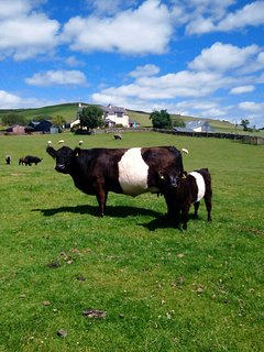 Belted Galloways in front of the farm