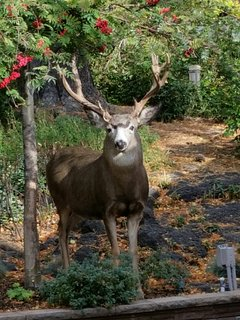 Deer frequent the grounds year around. This beautiful buck was likely born in our gardens.