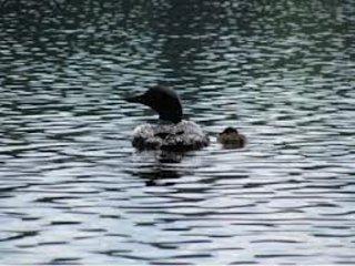 Eastman lake has loons!